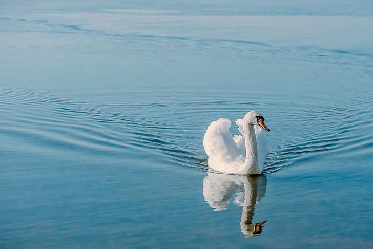 Cigno, uccello, natura, piumaggio, animale, acqua, bianco