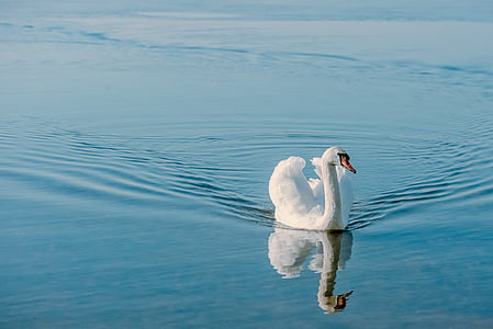 swan, bird, nature, plumage, animal, water, white
