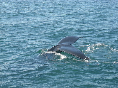 whale tail, whale, water, humpback, mammal, sea, tail