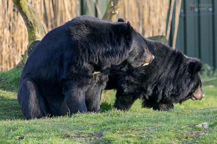 collar bear, black bear, bear, zoo