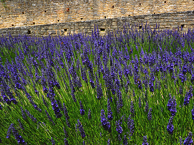 lavendel, blomster, blå, lavendel felt, lavendel blossom, lavendel dyrkning, landbrug