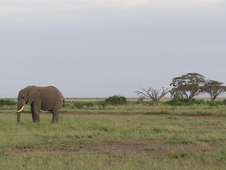 con voi, Châu Phi, Savannah, ngà voi, động vật có vú, động vật hoang dã, động vật