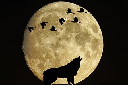 mystiske, månen, fullmåne, fugler, ulv, måneskinn, silhuett