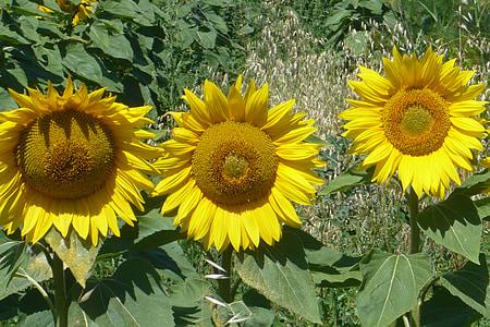päevalill, kollane, Itaalia, Tore, loodus, suvel, kollane lill