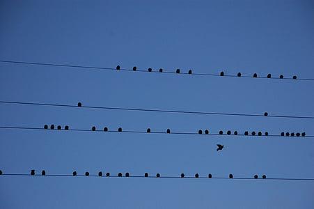 ramat, ocell, filferro, ocells, migració, partició, gran grup d'animals