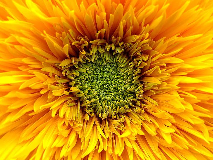 solros, blomma, gul, Orange, grön, Bloom, sommar