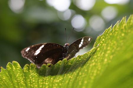 perhonen, Tropical, eksoottinen, trooppinen talo, Butterfly house, lehti, siipi