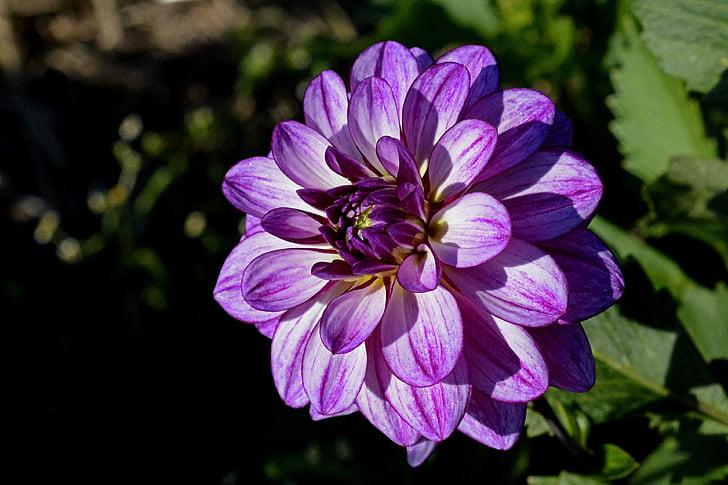 Cveće - Page 21 Dahlia-flower-blossom-bloom-preview