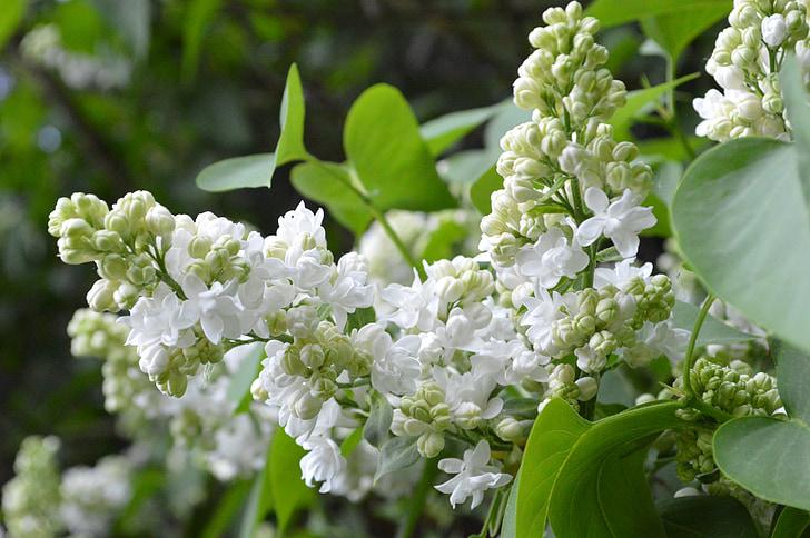 liliowy, biały, Natura, białego bzu, roślina, kwiaty, przetarg