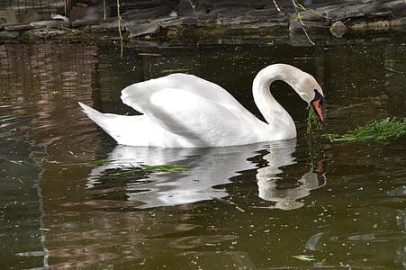 swan, bird, pond, lake, birds, white swan, white