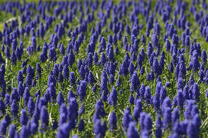 Muscari, pole, kvet, modrá, Príroda, jar, fialová