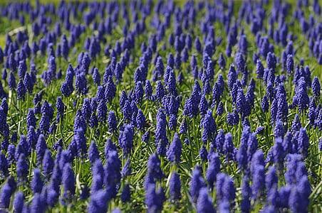 Poesía, camp, flor, blau, natura, primavera, porpra