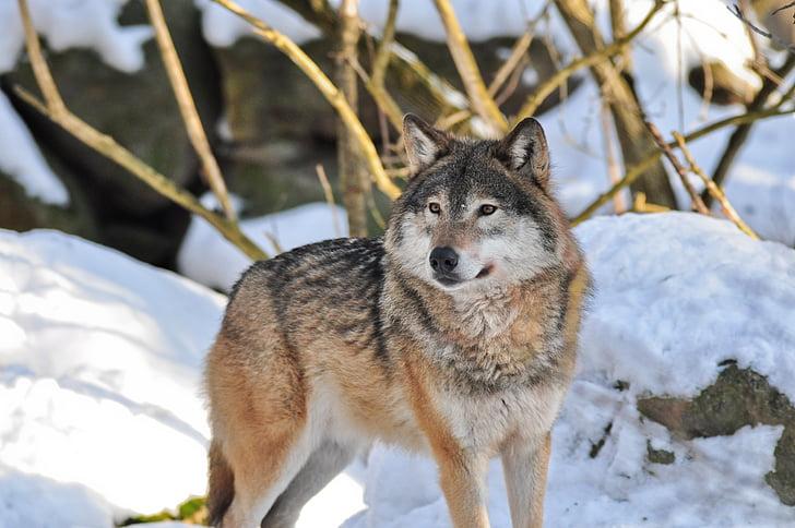 wolf, animals, nature, zoo, wildlife, animal life, animal world