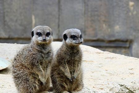 meerkats, paari meerkats, looma, Wildlife, paari, loodus, Nunnu