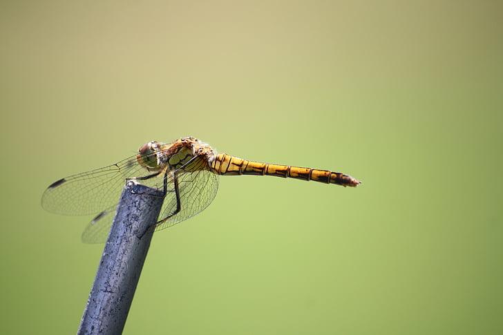 spāre, kukainis, aizveriet, spārnu, radījums, daba, dzeltenā spāre