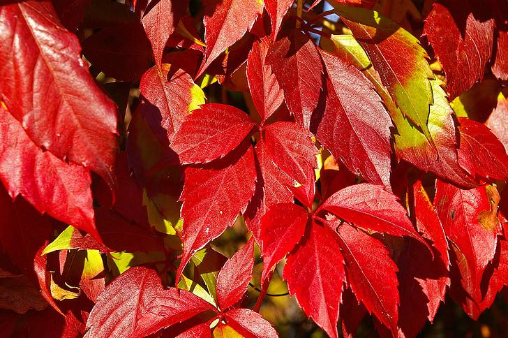 soci vi, escalador, tardor, collita de raïm, fulles, vermell, planta
