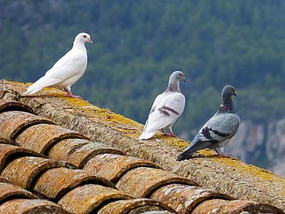 kyyhkyt, valkoinen kyyhkynen, katto, oteando, lintu, lokki, Luonto