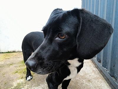 dog, pet, doggy, cute, domestic, puppy, black