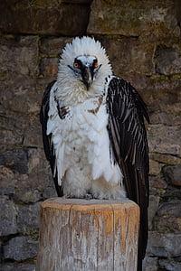 Adler, Raptor, petolintu, lintu, höyhenpeite, haukkametsästys, Bill