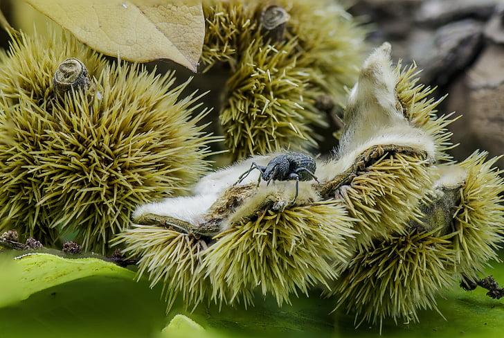 jeseni, bukev oreh, narave, padec, beechnut, makro, Žižak
