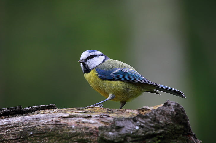 blue tit, bird, cute, nature, cute animals, wildlife, one animal