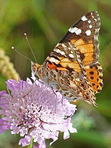 vlinder, Wild flower, libar, Distelvlinder, Vanesa van distels, migreren dels kaarten, detail