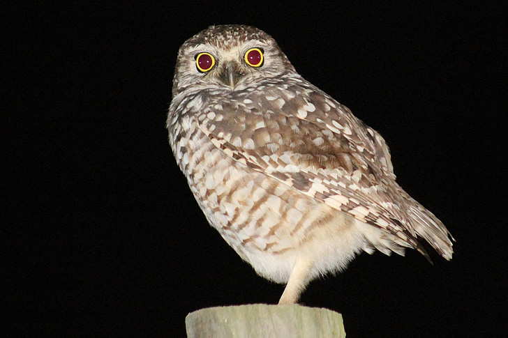 owl, bird, perched, fence post, looking, night, profile