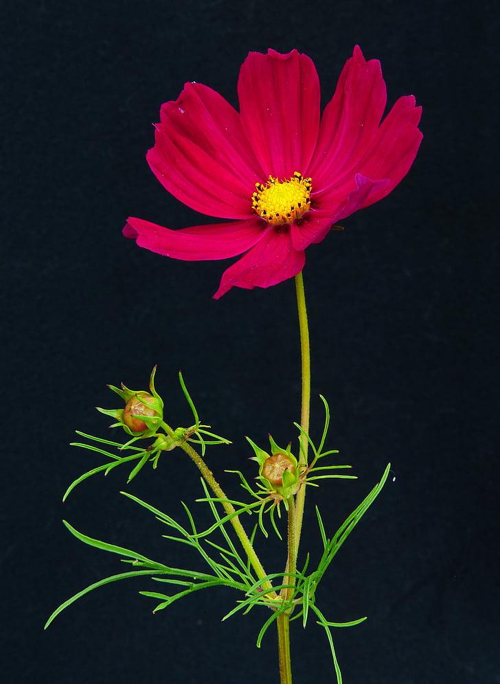 cosmea, beautiful körbchen, flower meadow, flower, blossom, bloom, red