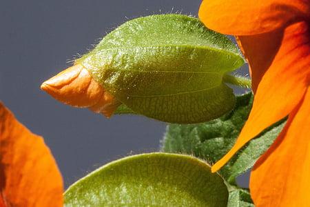 thunbergia, alata, Black eyed susan, oranž, Bud, õis, Bloom