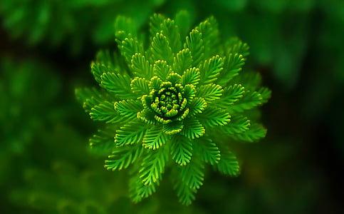 planta d'aigua, verd, fina, capes, resum, color verd, fulla