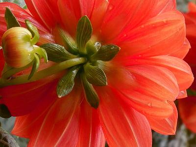 Dahlia, bunga, musim panas, kelopak, alam, Blossom, warna