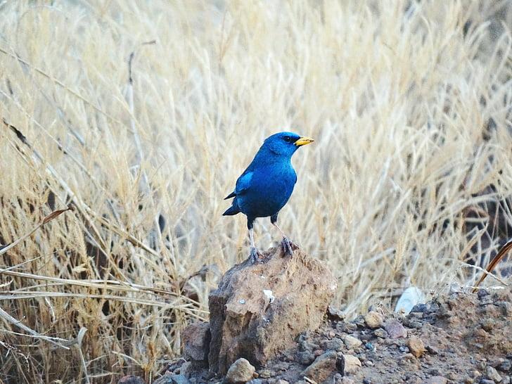 kuşlar Brezilya, Blue Bell'de, kuşlar, hayvan, hayvanlar alemi, hayvanlar, kuş