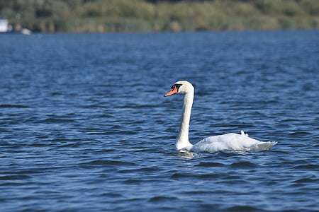 swan, water, nature, waterfowl, biesbosch, bird, lake