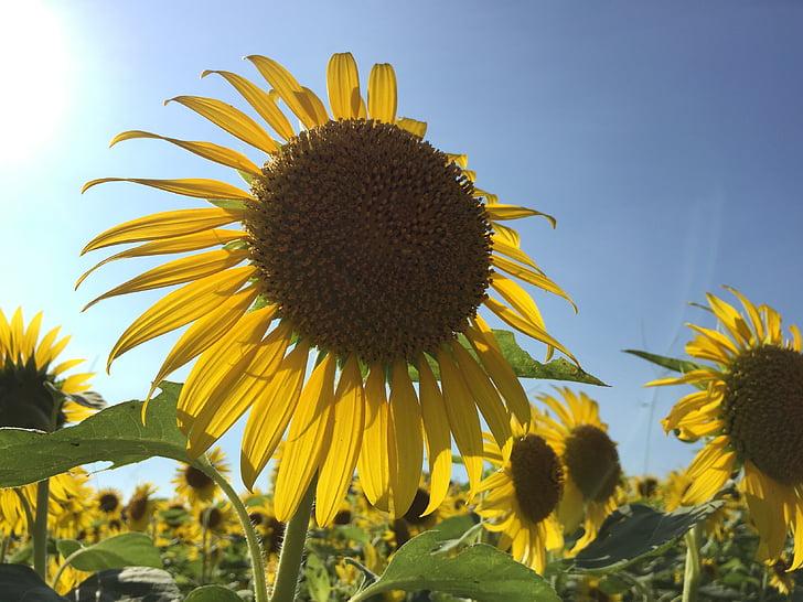 päevalill, suvel, taim, lilleaed, kollane, lilled, suve lilled