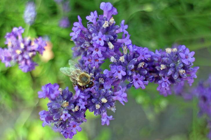 Levanda, žiedų, žydėti, levandų gėlės, floros, violetinė, violetinė