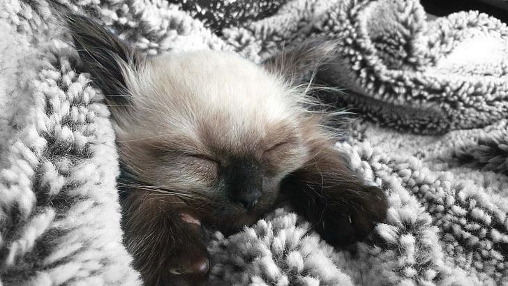anak kucing, Manis, Manis, kucing muda, keturunan asli, cat wajah, tidur