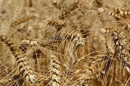trigo, agricultura, Triticum aestivum, orelha de trigo, cereais