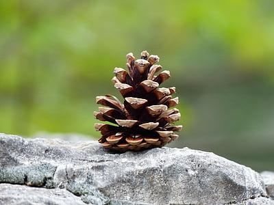 pine cones, tap, strobilus, conifer cones, seeds, pine Cone, nature