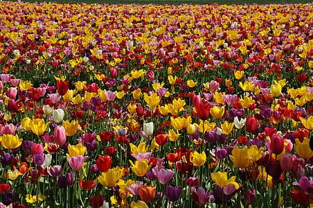 tulbid, Tulip välja, lill, väli, Aed, ere, Bloom