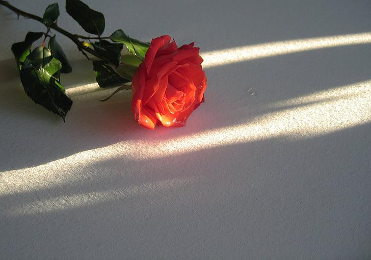 Rosa, vermell, flor, flor, flor, blanc, llum