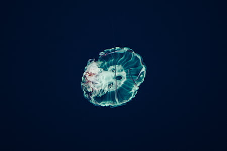 jellyfish, aquatic, animal, ocean, underwater, blue, water