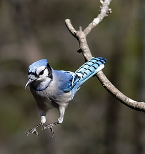 Blue jay, Къща за гости, птица, Джей, синьо, дива природа, клон