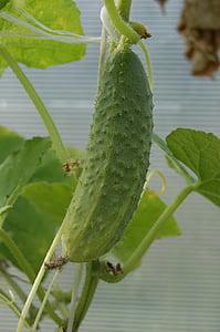 cogombre, verd, vegetals, verds, aliments, Lancaster, close-up