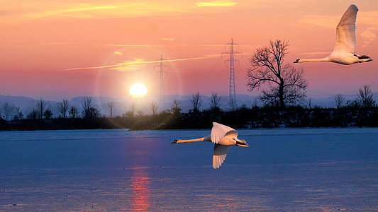 landskap, sjön, soluppgång, svanar, fluga, vinter, kalla