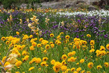 lilled, väli, looduslike, loodus, Värviline, kollane, roheline