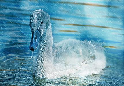 swan, young, young animal, water bird, water, rain