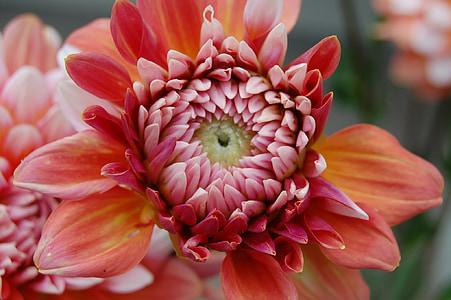 Dahlia, růžová, žlutá, Příroda, léto, květ, okvětní lístek