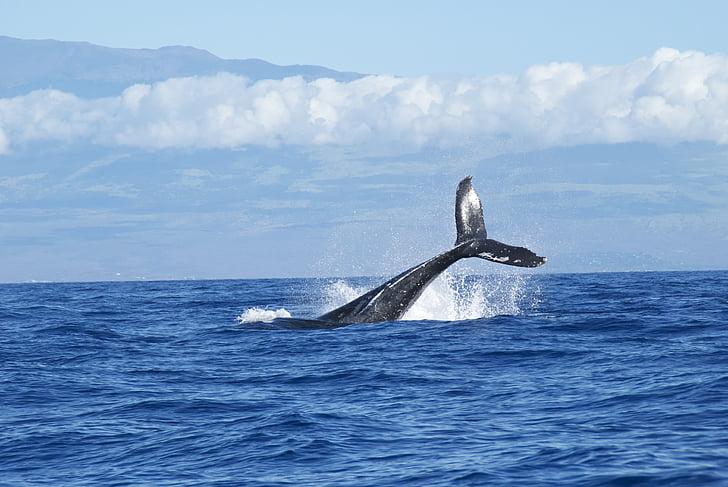 whales, ocean, diving, water, seas, horizon, blues