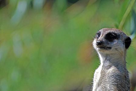 meerkats, loomade, ülejäänud, Meerkat, looma, Wildlife, imetaja