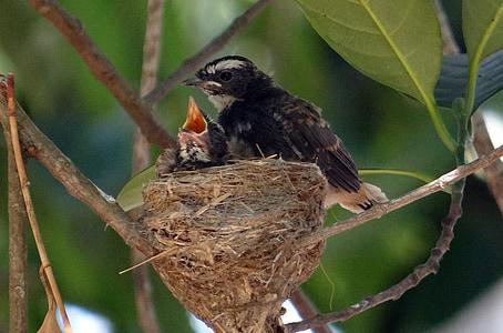 chicks, fledglings, white-throated fantail, flycatcher, rhipidura albicollis, passerine, bird